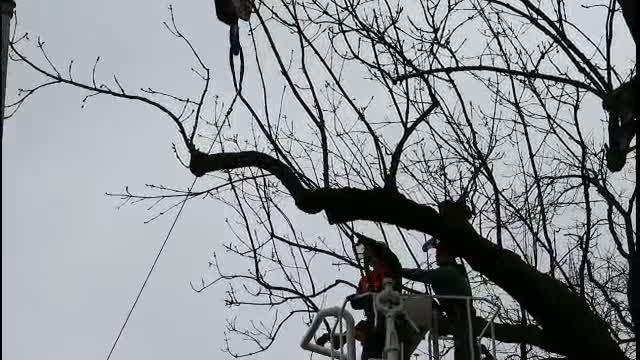 náhled videa - 2017-03-21 Kácení stromu v Tyršově parku