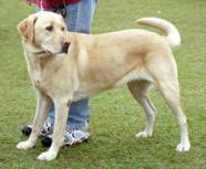 Pes - ilustrační obrázek
